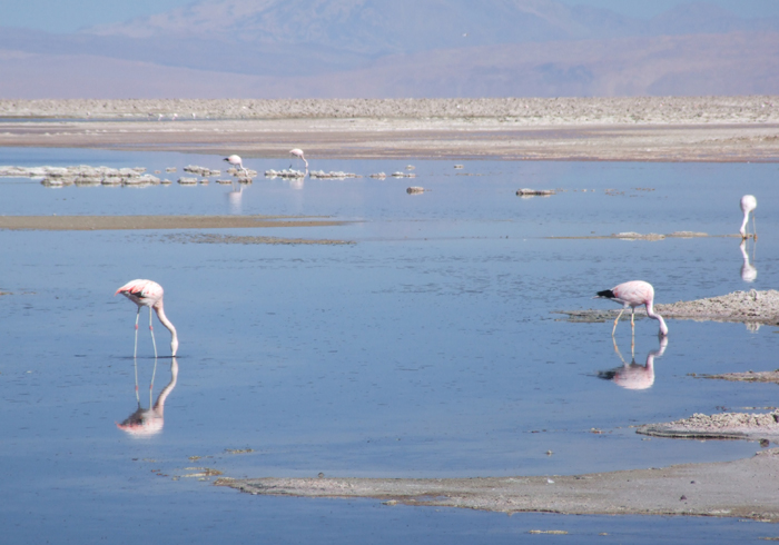 Flamingoes on the Salar de Atacama near the village of San Pedro, our acclimatisation base.