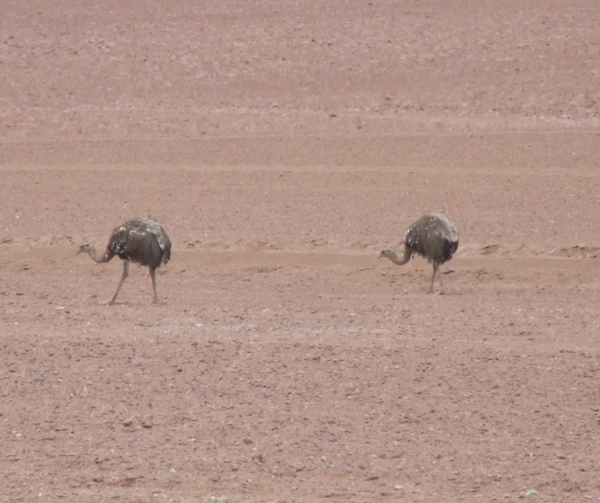 Rheas are a common sight in this part of northern Chile. Usually seen running a bit faster than this.!